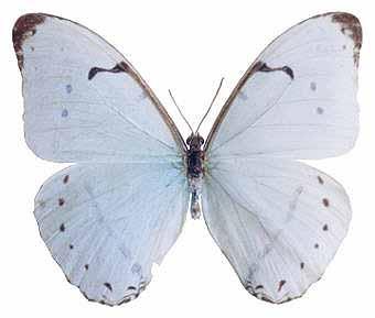 White morpho, Morpho laertes (Laertes butterfly, Papilio laertes ...